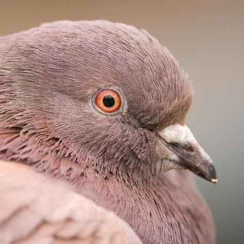 Pigeon Photography