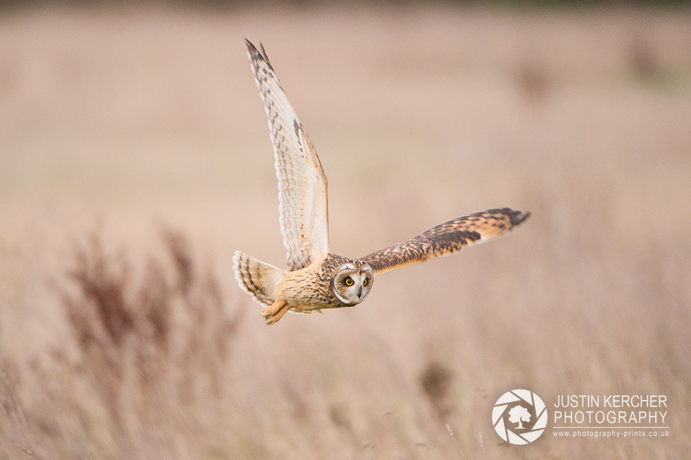 Wild Short Eared Owl Hunting IV