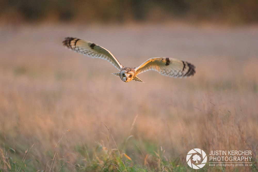 Wild Short Eared Owl in Golden Morning Light