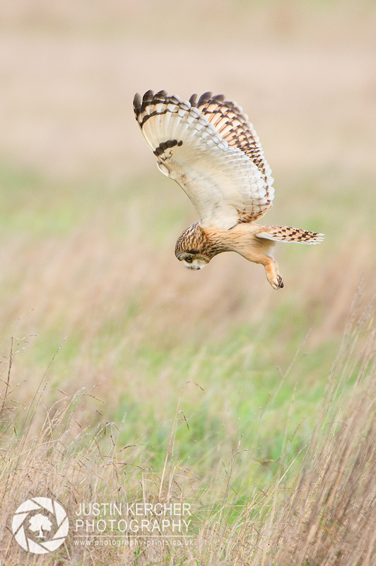 Wild Short Eared Owl in Flight VII