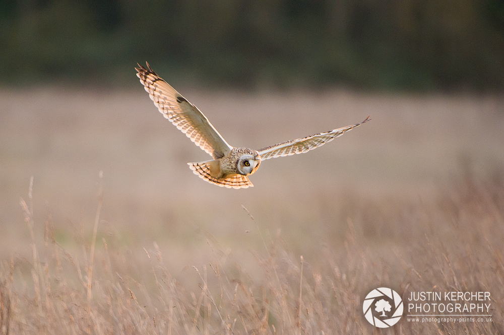 Wild Short Eared Owl in Flight XI