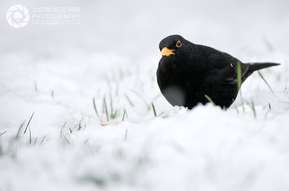 Black Bird in the Snow