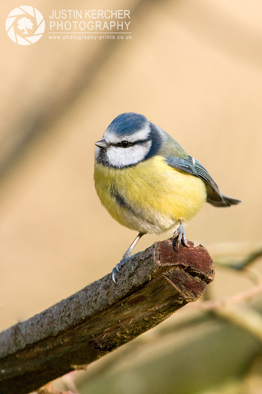 Blue Tit Perched on Branch II