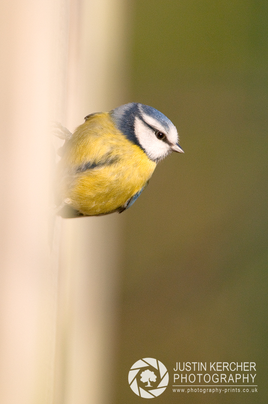 Blue Tit  on a Wall