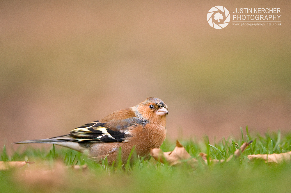 Chaffinch on Forest Floor II