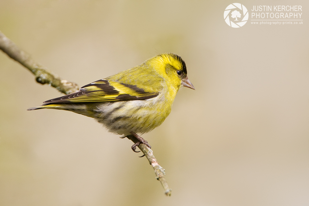 Siskin on Branch