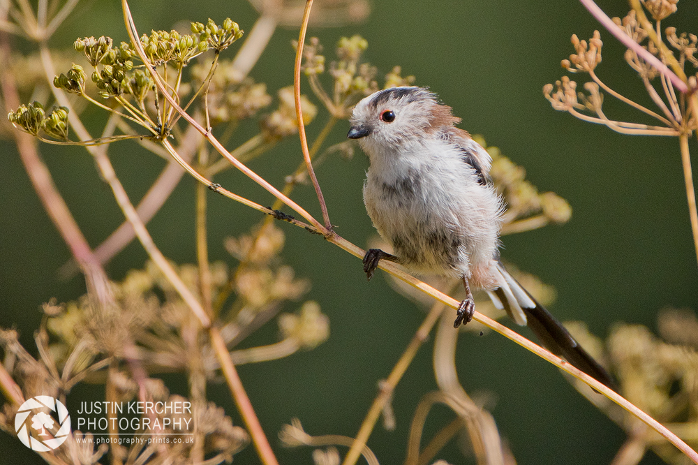 Long Tailed Tit Perching