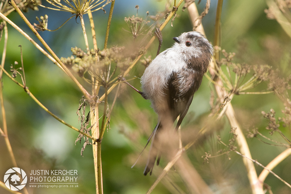 Long Tailed Tit Perching IV