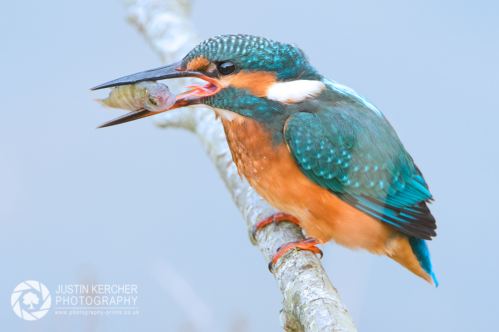 Female Kingfisher with young Perch