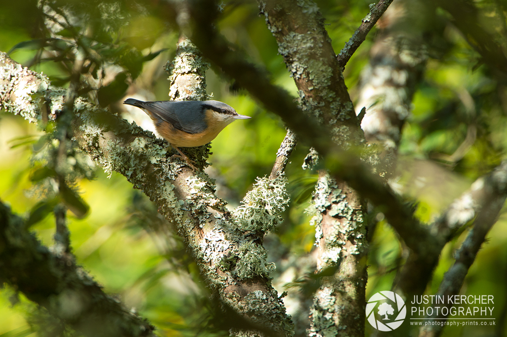 Nuthatch in Tree I