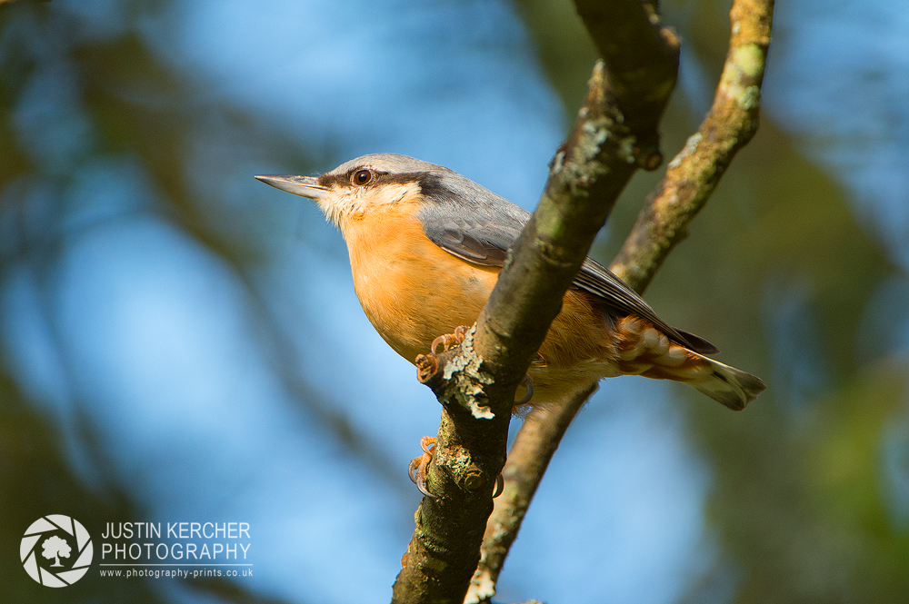 Nuthatch in Tree II