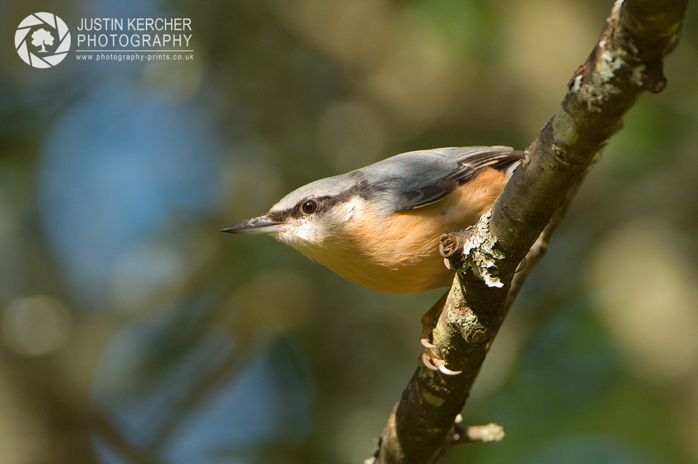 Nuthatch in Tree III