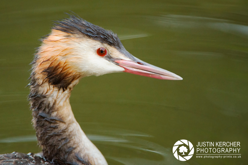 Crested Grebe Portrait