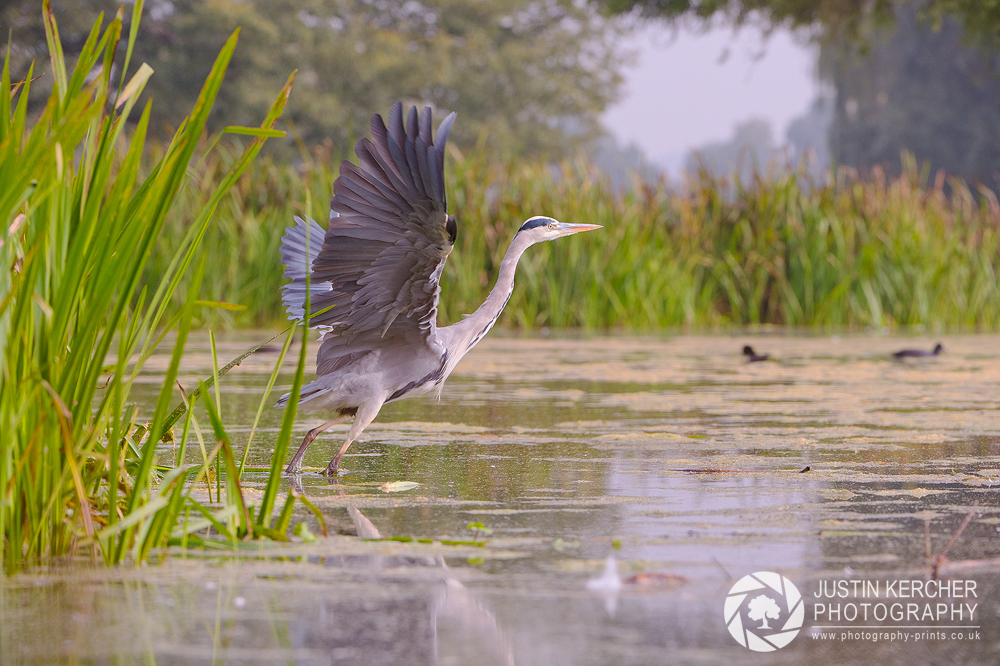 Grey Heron Takeoff I