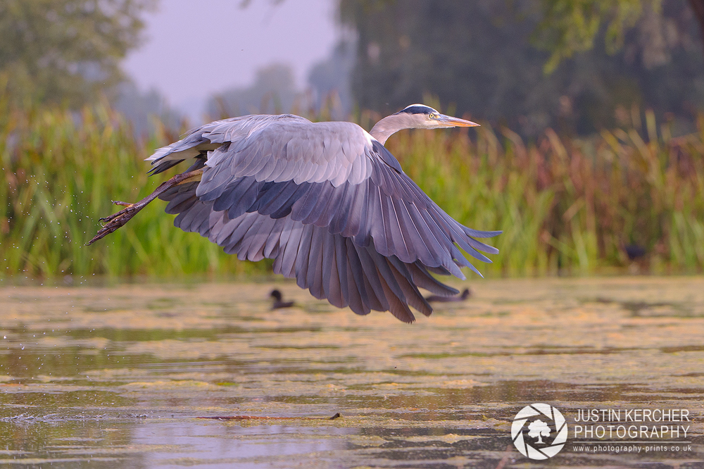 Grey Heron Takeoff III