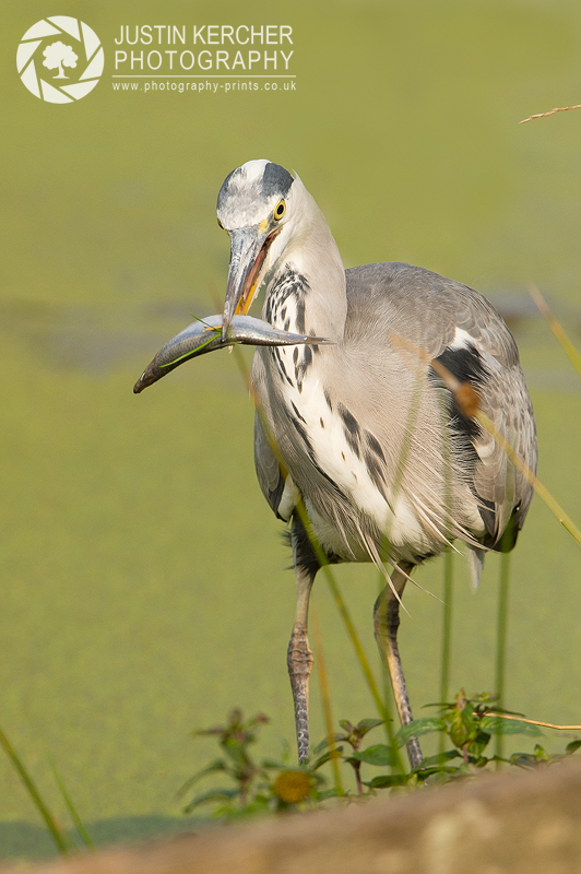 Grey Heron with Fish I