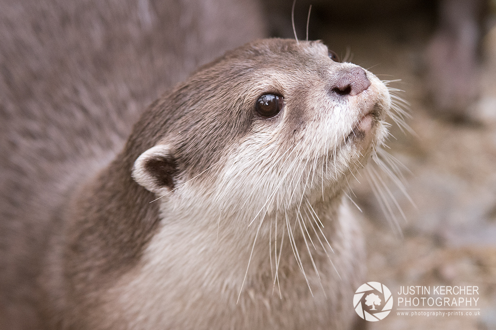 Asian Short Clawed Otter II