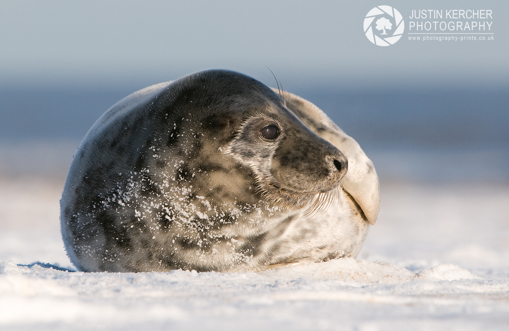 Seal in the Snow