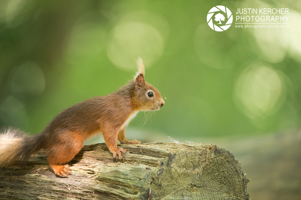 Red Squirrel XXI