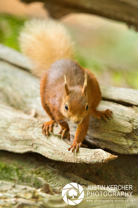 Red Squirrel XXVII